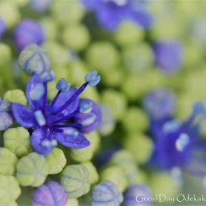紫陽花6 開花