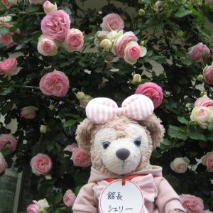 薔薇  満開シリーズ ピエールドゥロンサール 館長シェリー より