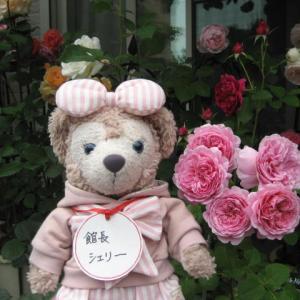 ピンクの薔薇特集 ラレーヌビクトリア キャスリンモーレー 他 館長シェリーより