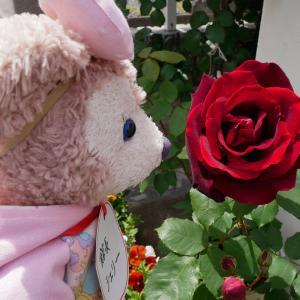 赤い薔薇 ダブリンベイ パパメイアン 咲いたよ