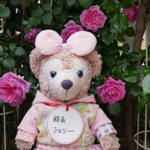 ピンクの薔薇 ローズポンパドゥール 羽衣 プリンセスアレキサンドラオブケント 咲いた
