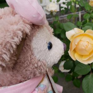お庭の黄色い薔薇