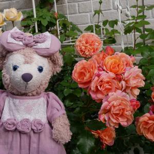 お庭のオレンジ系の薔薇