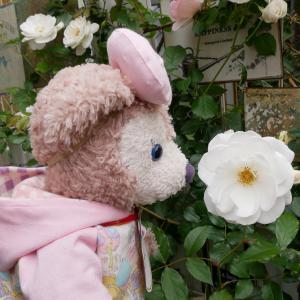 お庭の白い薔薇✨