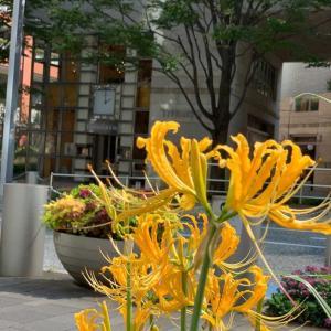 六本木けやき坂通りの花壇で咲いていた黄色い彼岸花です。#六本木 #けやき坂 #彼岸花 #ヒガンバナ #夏の思い出