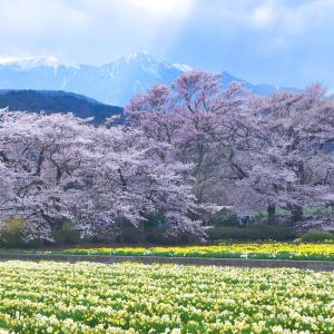 山梨観桜旅行(5):北杜市・実相寺,神代桜と「子桜」たち。