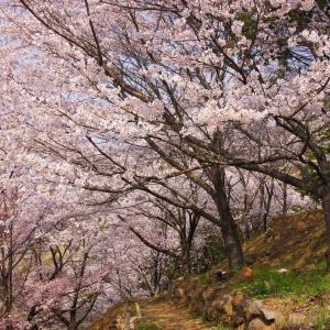 山梨観桜旅行(1):勝沼・大善寺,国宝本堂と桜と。