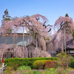 山梨観桜旅行(2):塩山・慈雲寺,満開のイトザクラ。