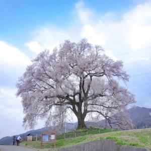 山梨観桜旅行(6):韮崎・わに塚の一本桜。