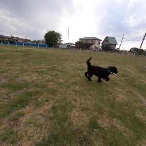 【動画】お散歩バッシュ リード引っ張る?