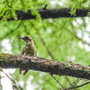 森の中はアオゲラの鳴き声で活気づく