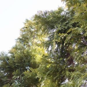 今なお和風の伝統を支える樹木『ヒノキ』の外構植栽における特徴について