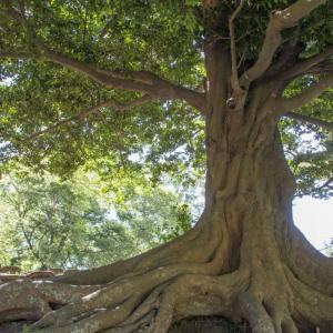 素朴で美しい広葉樹『イスノキ』の外構植栽における特徴について