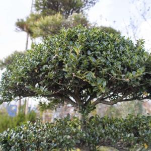 和風庭園で玉づくりすると趣を演出できる『イヌツゲ』の外構植栽における特徴について