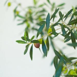 光沢ある浅緑の葉が美しい『オリーブ』の外構植栽における特徴について