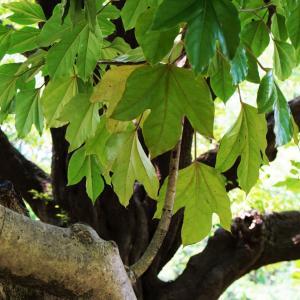 日陰に強く葉が大きな『カクレミノ』の外構植栽における特徴について