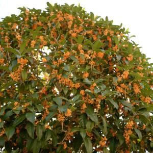 良い香りの外構を作る『キンモクセイ』の外構植栽における特徴について  一宮市外構ノエル