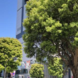 外構植栽図鑑『クスノキ』明るい浅緑色で外構と庭を色づけるクスノキの植栽における特徴とは  一宮市外構ノエル