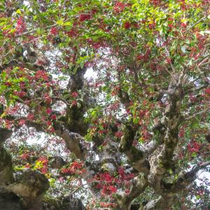 外構植栽図鑑『クロガネモチ』赤色の実で冬の庭を輝かせるクロガネモチの植栽における特徴とは  一宮市外構ノエル