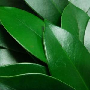 外構植栽図鑑『サカキ』濃い緑色でワンポイントでも存在感を発揮!サカキの植栽における特徴とは  一宮市外構ノエル