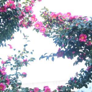 外構植栽図鑑『サザンカ』秋に紅色の花で庭を飾る!サザンカの植栽における特徴とは  一宮市外構ノエル