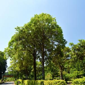 外構植栽図鑑『シラカシ』明るい葉色と細身が扱いやすい樹種の植栽における特徴とは  一宮市外構ノエル