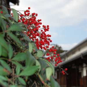 外構植栽図鑑『シロダモ』深緑の葉色と赤い実が特徴のシロダモの植栽における特徴とは |一宮市外構ノエル
