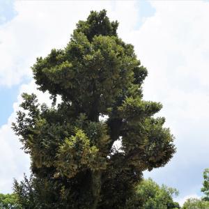 外構植栽図鑑『スダジイ』公園でも植えられるシイの木の植栽における特徴とは  一宮市外構ノエル