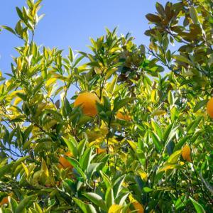 外構植栽図鑑『ナツミカン』香り良いミカン属ナツミカンの植栽における特徴とは  一宮市外構ノエル