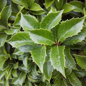 外構植栽図鑑『ヒイラギ』防犯目的で植栽?ヒイラギの植栽における特徴とは  一宮市外構ノエル