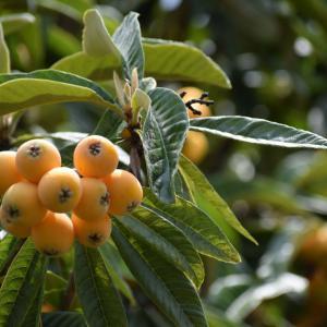 外構植栽図鑑『ビワ』大柄な葉と黄色の実を楽しめるビワの植栽における特徴とは  一宮市外構ノエル