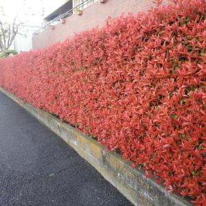 外構植栽図鑑『ベニカナメモチ』新芽で鮮やかな紅色を展開するベニカナメモチの植栽における特徴とは |一宮市外構ノエル