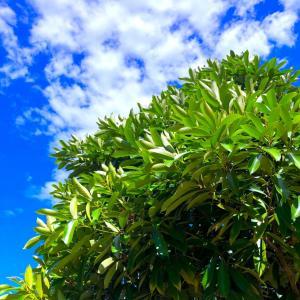 外構植栽図鑑『マテバシイ』光沢のある葉を密集させるマテバシイの植栽における特徴とは |一宮市外構ノエル
