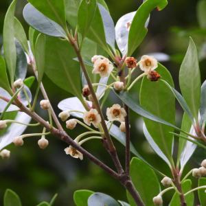 外構植栽図鑑『モッコク』美しい暗緑色の葉が人気なモッコクの植栽における特徴とは |一宮市外構ノエル