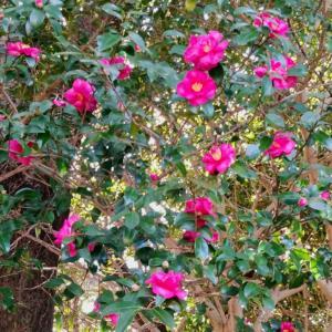 外構植栽図鑑『ヤブツバキ』可憐な赤花を咲かせるヤブツバキの植栽における特徴とは |一宮市外構ノエル