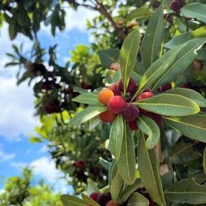 外構植栽図鑑『ヤマモモ』甘酸っぱい実と浅緑の葉を楽しめるヤマモモの植栽における特徴とは |一宮市外構ノエル