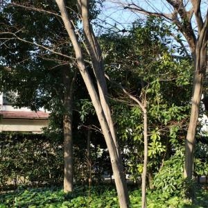 外構植栽図鑑『アカシデ』野性的・自然的な印象を与えるアカシデの植栽における特徴とは |一宮市外構ノエル