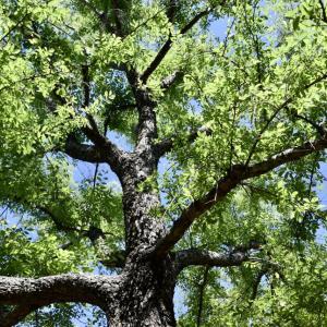 外構植栽図鑑『アキニレ』緑ならではの美しさを体現するアキニレの植栽における特徴とは |一宮市外構ノエル