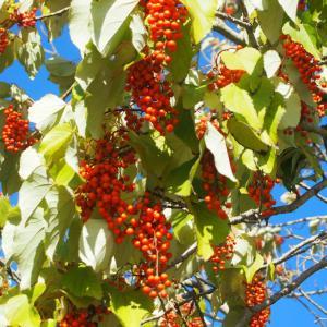外構植栽『イイギリ』赤いブドウのような実?イイギリの特徴とは