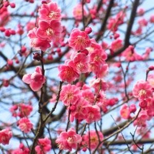 外構植栽『ウメ』春を代表する桃色の花が特徴の伝統ある庭木ウメの特徴とは
