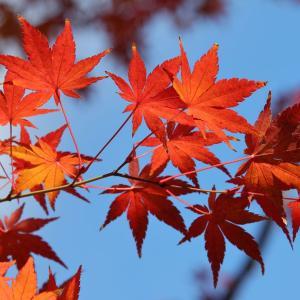 外構植栽『カエデ(イロハモミジ)』秋の紅葉として季節を感じさせるカエデの特徴とは
