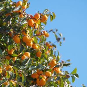外構植栽『カキノキ』古くから果実を楽しむ庭木として親しまれたカキノキの特徴とは