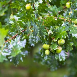 外構植栽『カシワ』繁栄の意味を込めて植えられるカシワ特徴とは