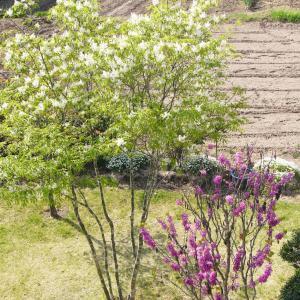 外構植栽『コバノトネリコ(アオダモ)』スリムでおしゃれさを演出できるコバノトネリコの特徴とは