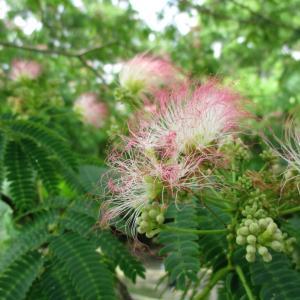 外構植栽『ネムノキ』和風や洋風でエレガントな印象をつくれるネムノキの特徴とは