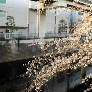 神田川桜並木遊歩道を江戸川橋から高戸橋まで遡上です!