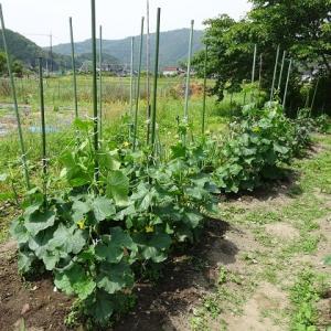 我が家の胡瓜畑からのレポート「モチベーシヨンアップの極意」ヒント97 畑の土のエネルギーに感動