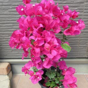 ブーゲンビリアの開花