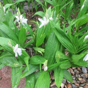 雷鳴と白花紫蘭