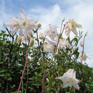 連夜の地震と今日の花(マリーゴールド・オダマキ・アッツ桜など)